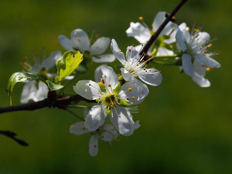 Mirabellenblüte Bellamira