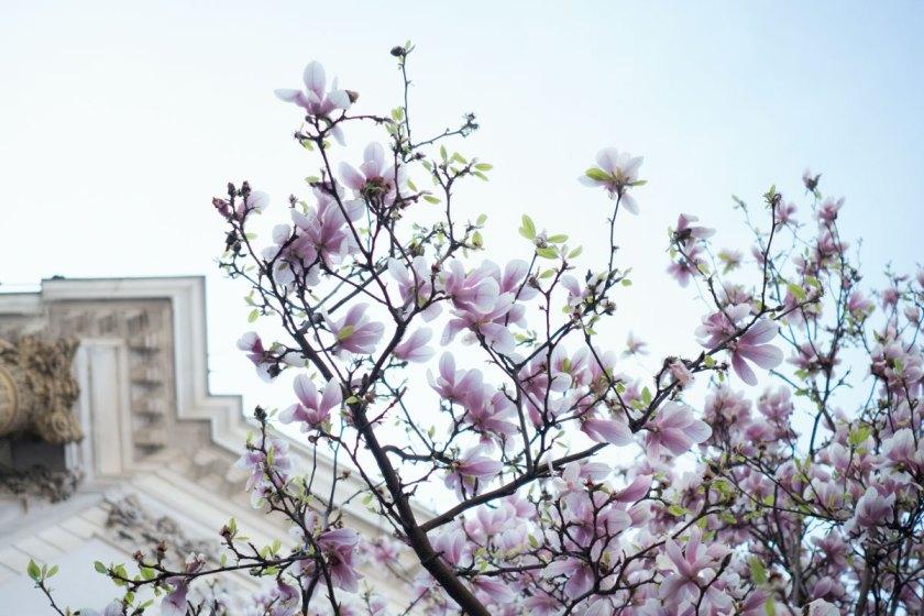 Wochenende in Bildern. Magnolien.