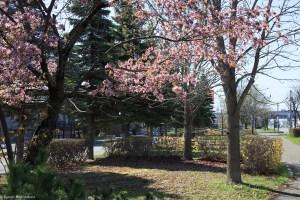 フォトログ:散った桜