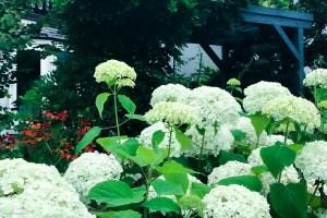 お庭に植えたアジサイが咲かない理由|北海道ガーデニングあるある