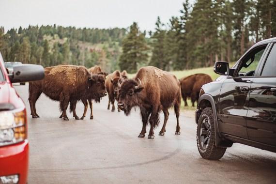 Djur- och naturupplevelser i Custer State Park