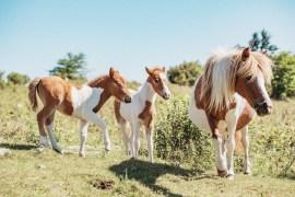 Jakten på de vilda ponnysarna i Greyson Highlands State Park, Virginia (USA)