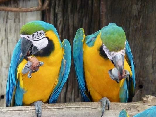 Papagaios comendo lichias