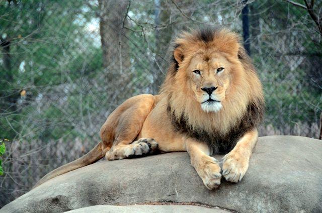 Leão no zoológico de Toronto