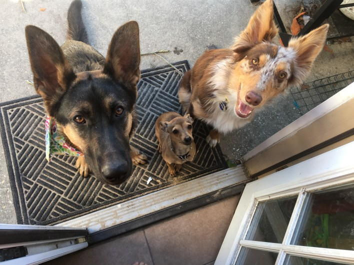 Motherhood, life with dogs, german shepherd, Aussie, Australian shepherd
