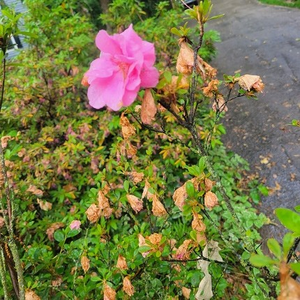 Azalea bush one bloom