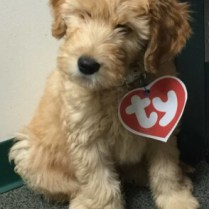 goldendoodle puppy