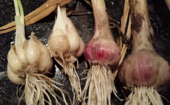 closeup of garlic bulbs