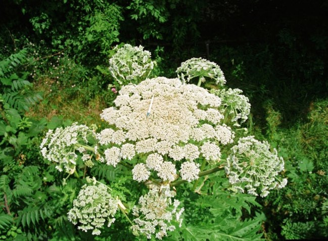 Giant Hogweed Identifying Noxious Weeds Of Ohio