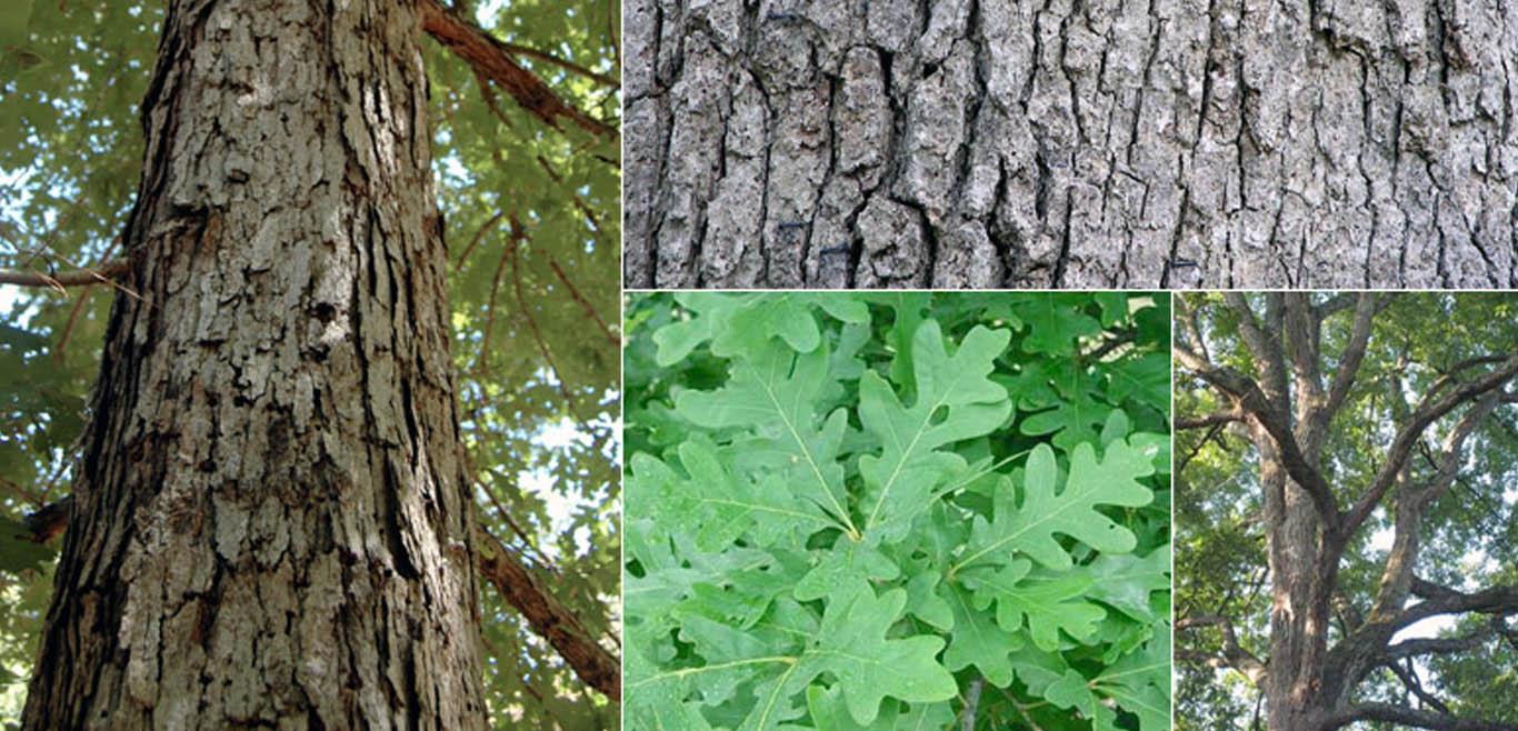Ohio Tree Species Guide