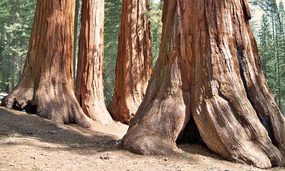 giant sequoia trees in california