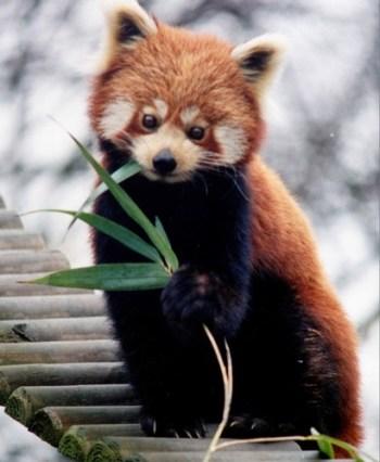 Panda roux qui mange