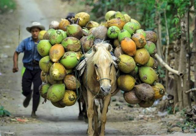 Noix de coco aux Philipinnes