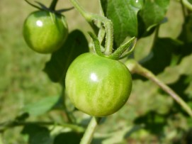 Cherry tomato?? Thought this was a roma tomato plant!