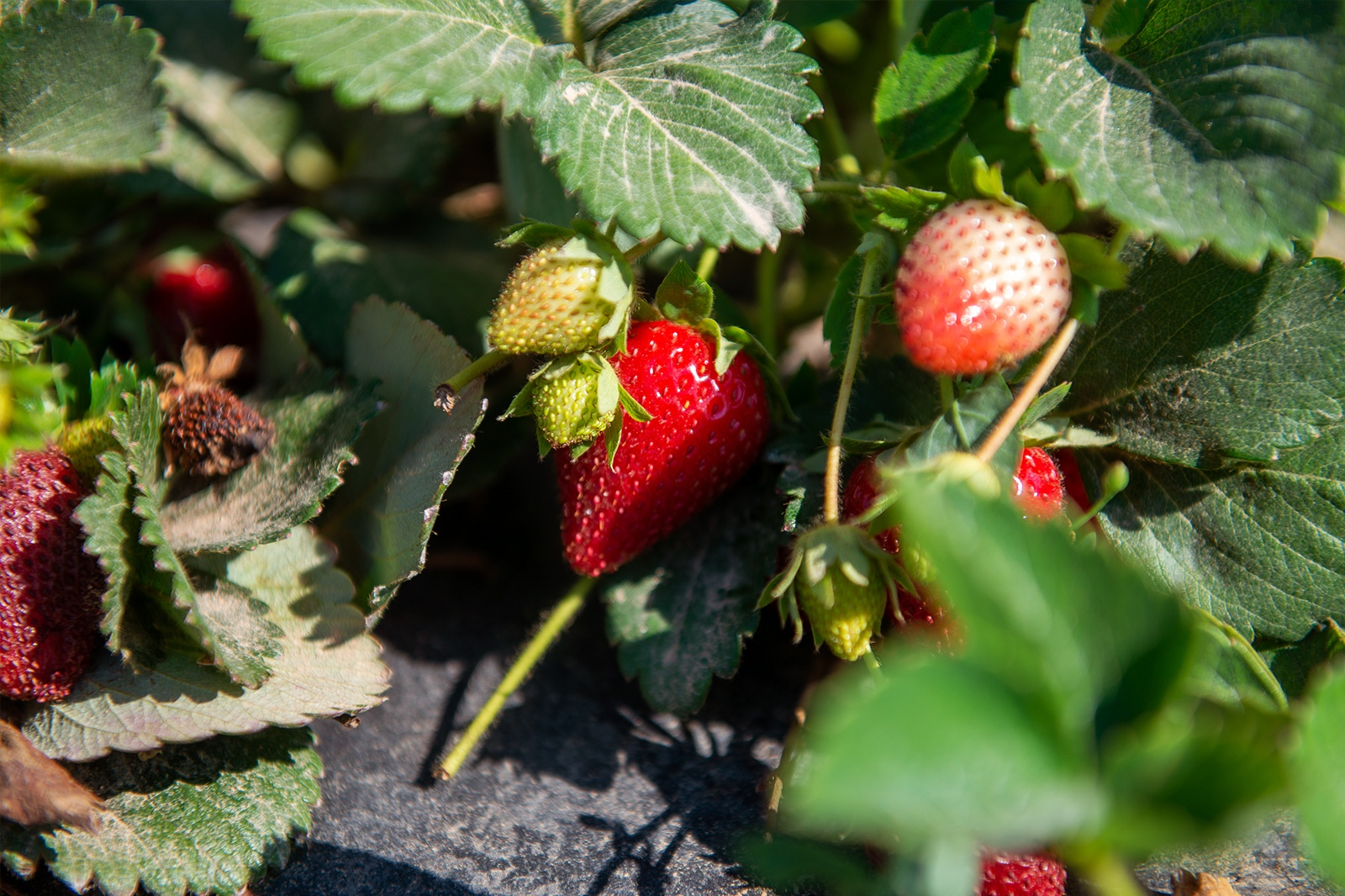 Read more about the article Emily in Malta: Mġarr strawberries