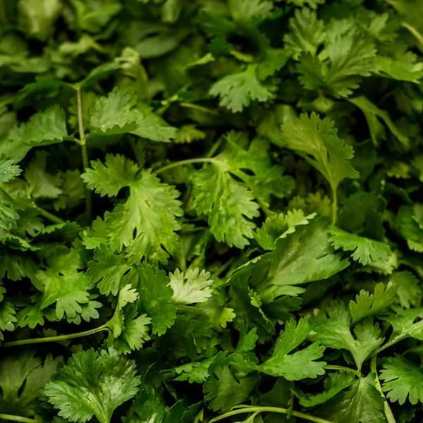 Close up photo of fresh coriander cilantro