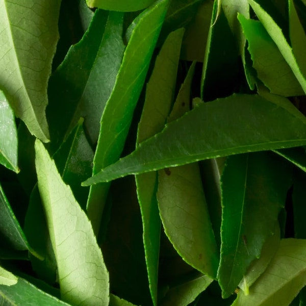 A pile of fresh curry leaves, kadi patta