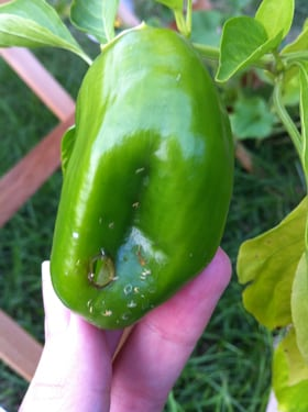Bell Pepper with Insect Damage