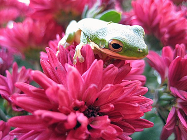 Frog on Mums