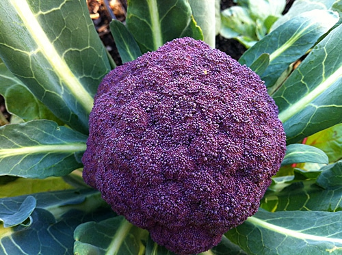 Purple Cauliflower [12/7]