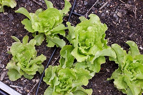 Brune d'Hiver Lettuce