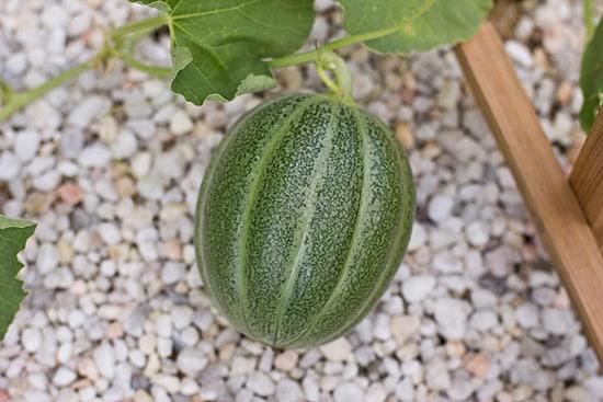 Petit Gris de Rennes Melon 7-24-12