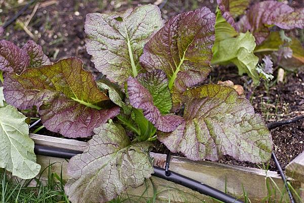 Mustard Greens - October 2012