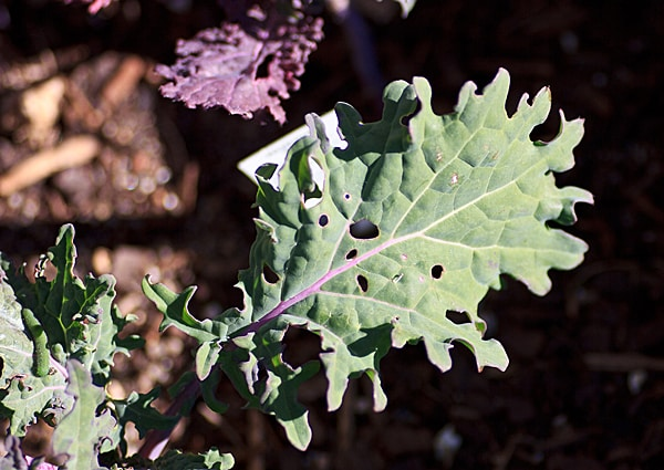 Kale - November 2012