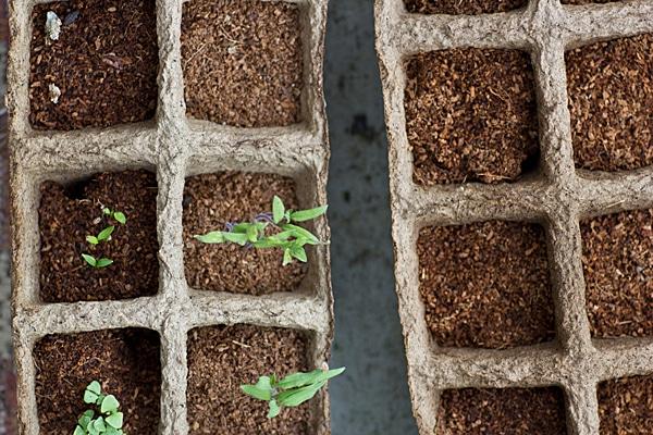 Tomato, Parsley & Thai Basil Seedlings
