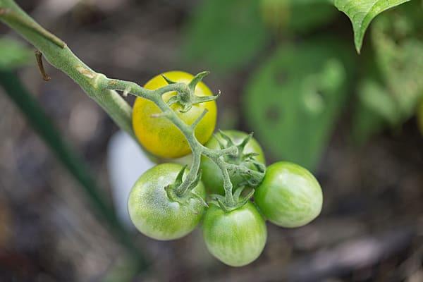 Tomatoes - June 2013