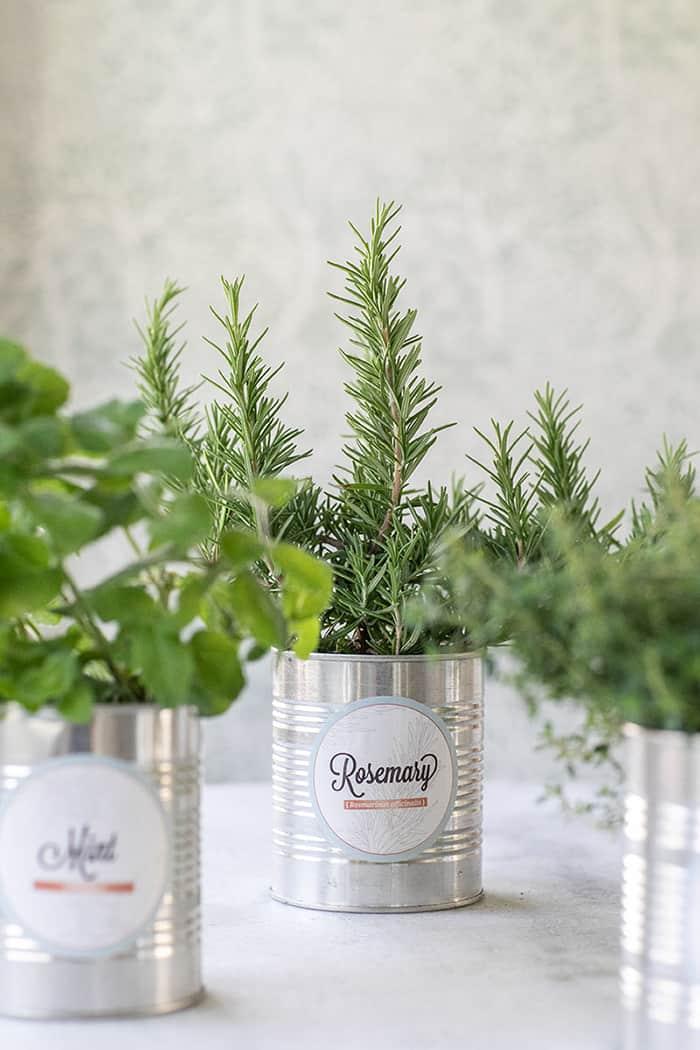 tin can herbs garden