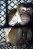 Sem os dedos da mão direita, um dos macacos ficava constantemente encolhido na sua gaiola de 18 polegadas.