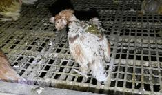 """Galinhas cometem canibalismo em fazenda """"livre de gaiola"""". Foto: DxE"""