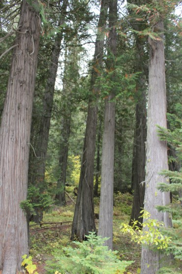 Devoto Grove, Clearwater National Forest