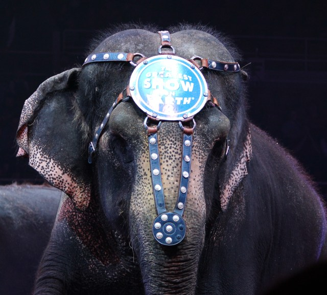 One of three crowd-pleasing elephants at Ringling Bros. Circus, Knoxville, TN
