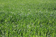 Pure green of wheat in spring