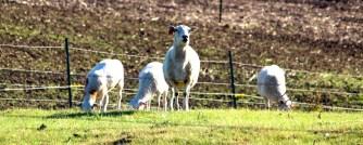 Grazing sheep at Bella Vista Farm, Moscow ID