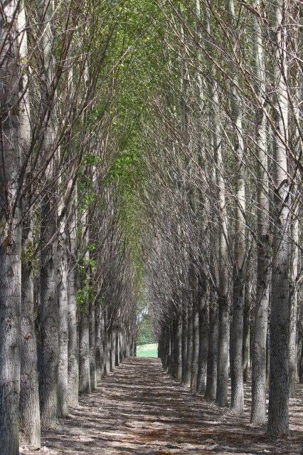A grove of trees planted in straight rows