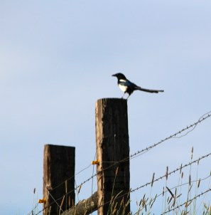 Magpie on a fence surveying the Palouse