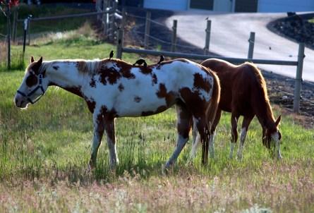 An Appaloosa stands out on the landscape