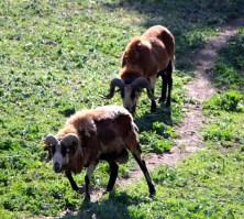 Big-horned sheep seen near Palouse Falls State Park