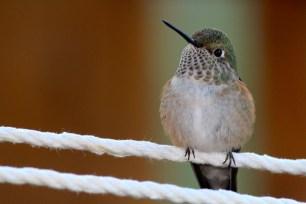 Hummingbird on hammock