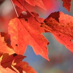 Red leaves at Pipestem Arboretum