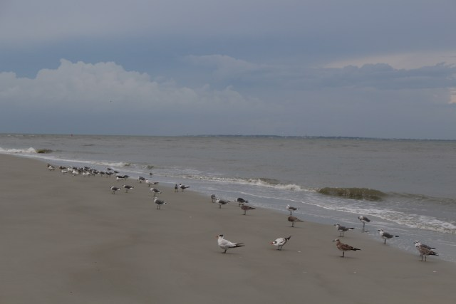Birds move in and out with the waves along the shore at Sea Pines on Hilton Head Island, South Carolina.