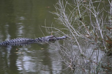 Green alligator, green water: Hilton Head preserve.