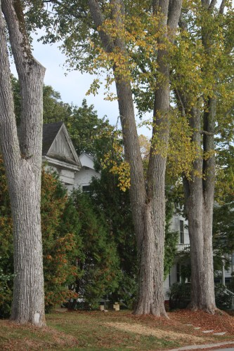 A wealth of elm trees in this yard!