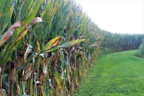 Corn rows, Pebble Hall Wildflowers