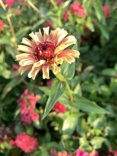 Autumn zinna, UT Gardens