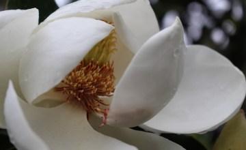Magnolia blossom opening