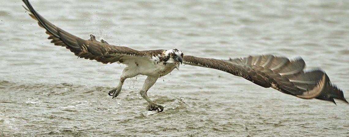 Eagle in flight by Bill Angell